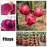 Cioler 20 Stücke Obstsamen Drachenfrucht Samen Mini Bonsai Hausgarten Obst Bäume Outdoor Obst Samen für Garten Pflanzen