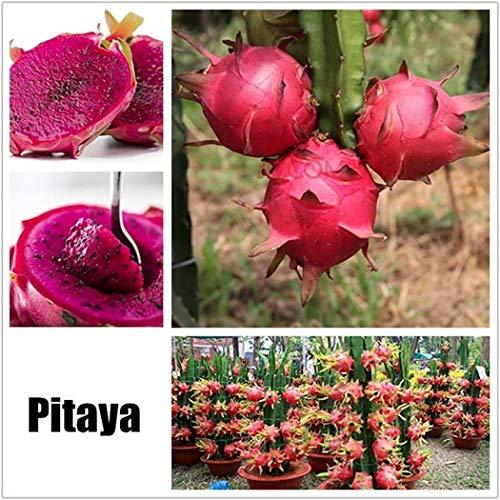 swiftt 20 St¨¹cke Obstsamen Drachenfrucht Samen Mini Bonsai Hausgarten Obst B?ume Outdoor Obst Samen f¨¹r Garten Pflanzen