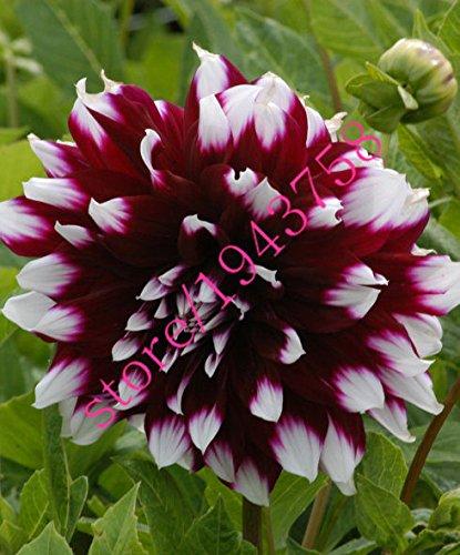 20 pcs vrai dahlia fleur graines de dahlia (pas les bulbes de dahlia), et chanceux symbolise le courage, graines de fleurs bonsaï vivaces jardin à la maison 20