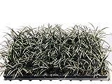 Black Mondo Grass Plugs - Ophiopogon Japonicus Nigrescens - 3 Live Plants - Excellent Shade Loving Ground Cover