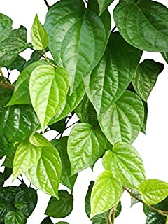 M-Tech Gardens Rare Betel Leaf Live Plant (Piper betle) Medicinal Herb (1 Bare Root Plant)