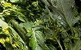 500+ Broccoli Raab (Rabe, Rapini) Seeds-'Del Trasimeno'