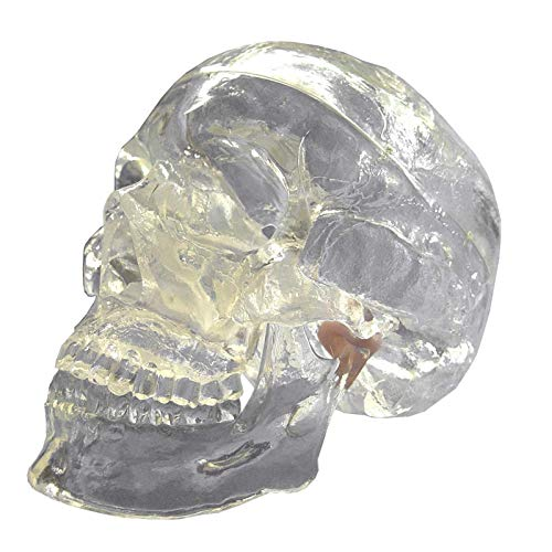 Model Scientific Medical Anatomical Skull Model - 3 Parts - Life Sized Crystal Skull Human Mold Neurological X-ray Intervention Teaching Tool