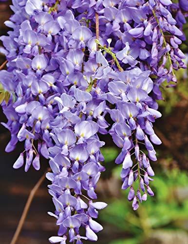 Notebook: Blue rain flower violet wisteria plant blossom cobalt navy ultramarine color prussian