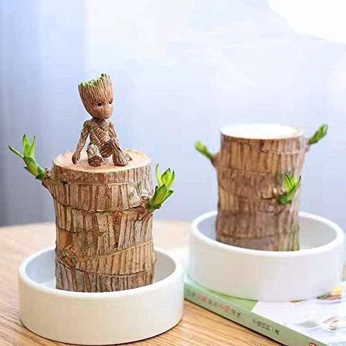 YYTFGR Brasilienholz Hydrokulturpflanze Glücksholz Topfpflanzen Indoor Wasserkultur Desktop grüne Pflanzen Groot Baum Brasilien Eisen Ornamente klein