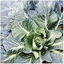 Best cabbage like plant Reviews
