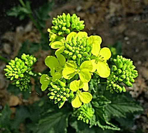 100 weisser Senf Samen, Sinapis alba, Saatgut zur Aussaat im Garten oder Topf, BIO