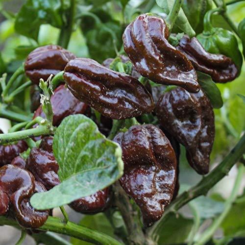 Samen für ca. 10 Pflanzen Habanero Chocolate Chili - klassischer, weit verbreiteter Chili
