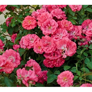 Coral Drift Groundcover Rose - Quart Pot