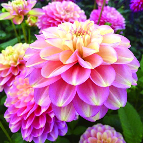 Milena Fleur Decorative Dahlia - 2 Tubers