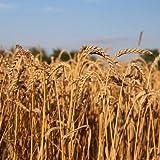 BIO Weizen 5kg – direkt vom Bauernhof – aus kontrolliert biologischem Anbau - 6