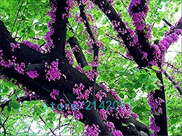 Fash Lady 20pcs / sac de graines de Bauhinia, Cercis chinensis, graines de fleurs de bonsa, graines d'arbres de Redbud chinois, plantes en pot Nature pour le jardin de la maison
