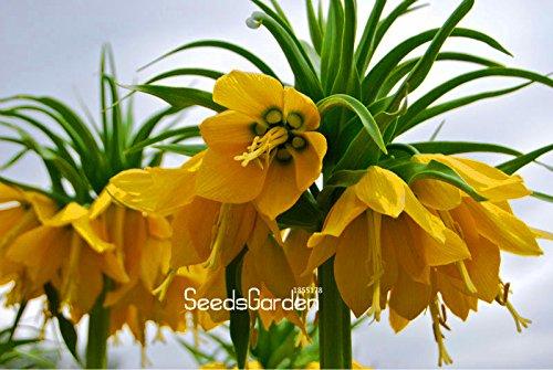 Promotion! 10 Pcs / Graines Sac jaune Couronne Imperial imperialis Lutea Seeds facile à cultiver jardin Terrain couvert végétal, # LA01DW