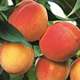 (5 Gallon) Belle of Georgia Peach Tree, Fruit are Large in Size, Skin has a Light Color with a red Cheek, Excellent Flavor, ripens mid to Late Season.