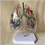 XiYou Muñecas educativas Modelo de segmento de pulmón Transparente Modelo anatómico de pulmón Árbol bronquial Cirugía torácica Modelo respiratorio Pulmón Bronquial Respiratorio