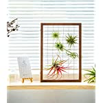Mkono Air Plant Frame Tillandsia Wall Display, 7 7/8 Inch, 16 Inch 12 A wonderful way to display your tillandsias. This frame allows air and light to pass through. With hooks at the back, easy to hang anywhere, wall, windows or outdoor.