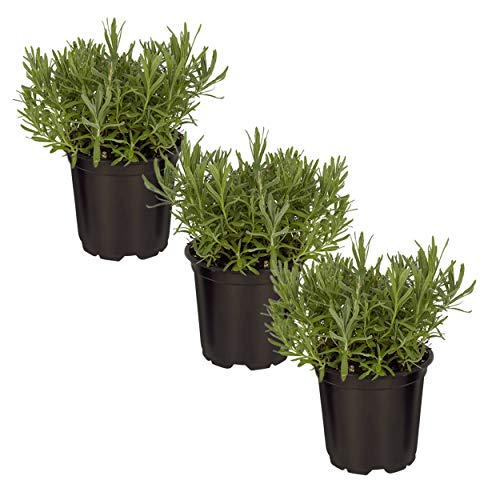 The Three Company Live Lavender Herb (3 Per Pack) Aromatic and Edible Plant, Improves Sleep and Relaxation, 4.5' Pot