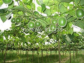 Vistaric Nueva llegada 2 Semillas Home Garden Plant Monk Fruit World Sweetest Buddha, Arhat, Longevity Fruit Seeds