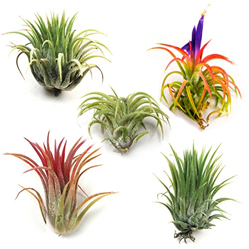 Air Plants - Ionantha Mexican - Set of 5 Air Plants - Colors Vary Throughout The Year - Fast Shipping - Tillandsia House Plants - Includes PDF E-Book By Jody James
