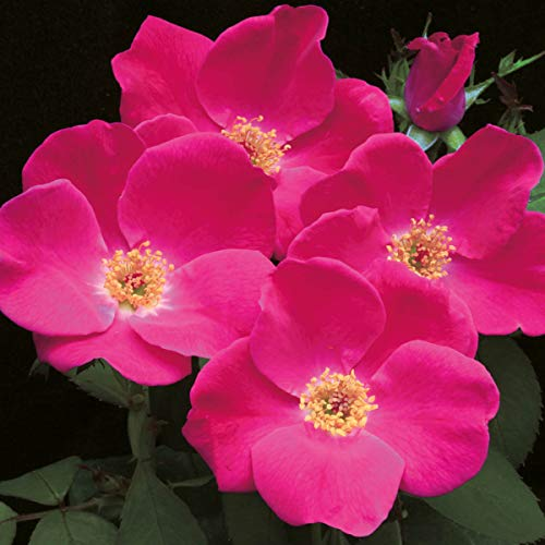 Pink Home Run Shrub Rose, Live Bareroot Plant with Pink Flowers