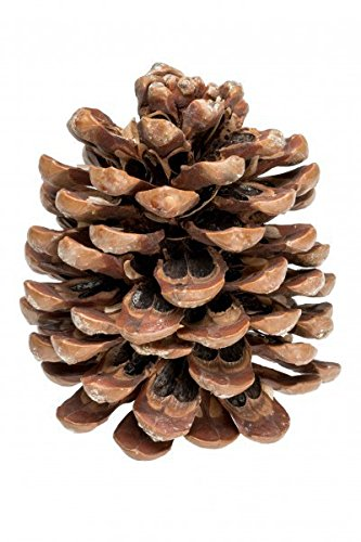 NaDeco Pinienzapfen 14-18cm Pinienzapfe Pinus Pinea Tannenzapfen Kiefernzapfen Dekozapfen Zapfendeko