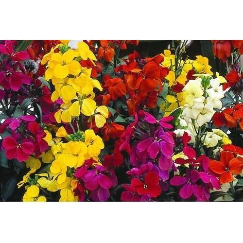2 PACKS of WALLFLOWER Single Mixed Garden FLOWER SEEDS