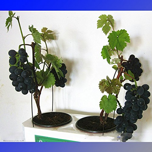 (Black Grape * Ambizu *) Super Black Grape 'Hei Fei' Graines bio, Paquet professionnel, 15 graines