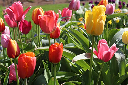 100 Blumenzwiebel-Mischung Tulpenzwiebel Mixed Afterglow