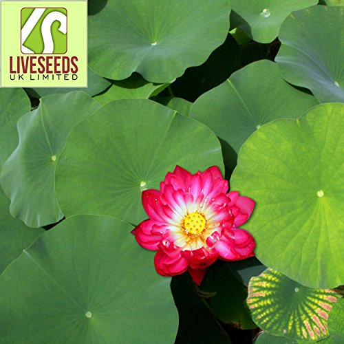 Liveseeds - Mini rouge Bonsai Lotus/Water Lily Flower/5 graines fraîches