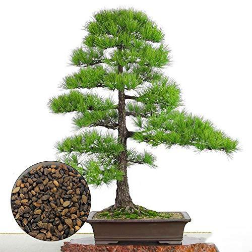 KINGDUO Egrow 60Pcs/Sac Thunbergii Jardin Pin Noir Arbre Graines Flores Plantes en Pot Japonais Pin Arbre