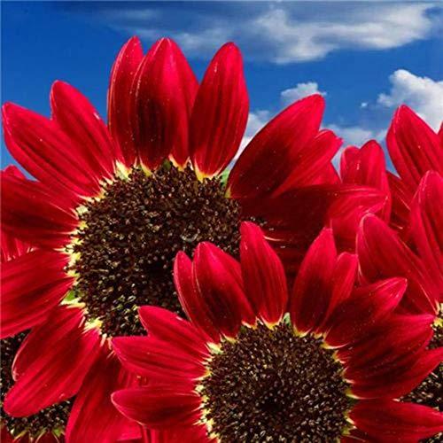 quanjucheer 15 Stück Sonnenblume Rote Sonnenblumenkerne Rote Sonne Reichtum Blumengarten Erbstück Samen Sonnenblumenkerne