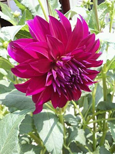 Dahlien-Blumenzwiebeln, wunderschön, mehrjährig, duftender, magischer Garten-Charm, atemberaubendes Zuhause, 1 Dahlie-Blumenzwiebeln