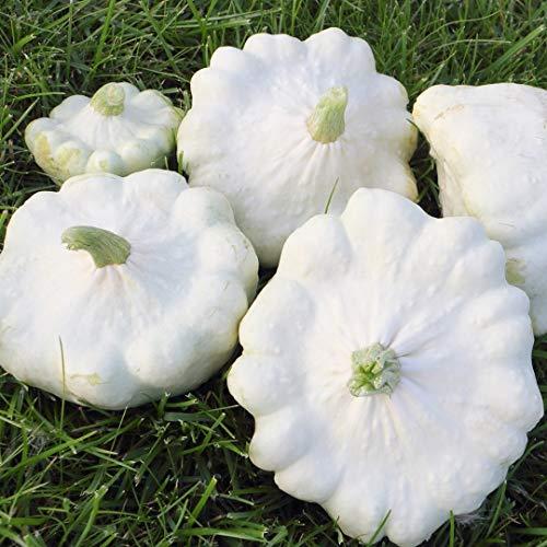 Samen für ca. 10 Pflanzen Custard White Kürbis - dekorativer Speisekürbis, Pattison