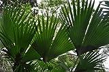 Portal Cool 50 X Carludovica Palmata Seeds. Panamahut