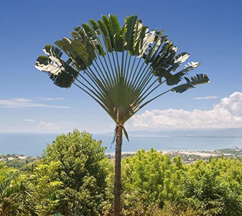 Portal Cool Las semillas del paquete: 20 - palma del viajero de Madagascar - Ravenala madagascariensis