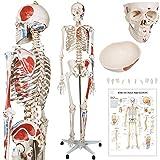 Modelo Anatómico de Esqueleto 181,5 cm - con Músculos y con Partes Móviles, Incluye Póster Gráfico, Funda, Soporte con Ruedas - Modelo Médico Humano de Tamaño Real