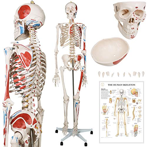 Menschliches Anatomie Skelett 181.5 cm - mit Muskelbemalungdetails, inkl. Schutzabdeckung, mit Ständer, Standfuss und Lehrgrafik Poster, Lebensgroß - Anatomie Lernmodell, klassisches Skelett