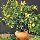 Pianta di Limone Nano Limoni'Agrumi di Sicilia' in vaso ø20 cm CON FRUTTI
