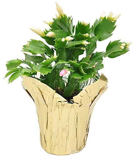 Costa Farms Fully Rooted Indoor Zygocactus, 4in Holiday Cactus Grower Choice, Gold Pot Cover