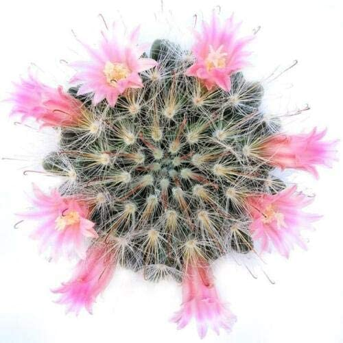 SmartMe Max 52% OFF Succulent Plant - Mammillaria Cactu Powder New life bocasana Puff