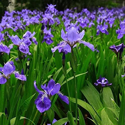 Blue Iris Flowers Seeds, Perennial Plant Seeds,IRIS Home Garden Decoration...