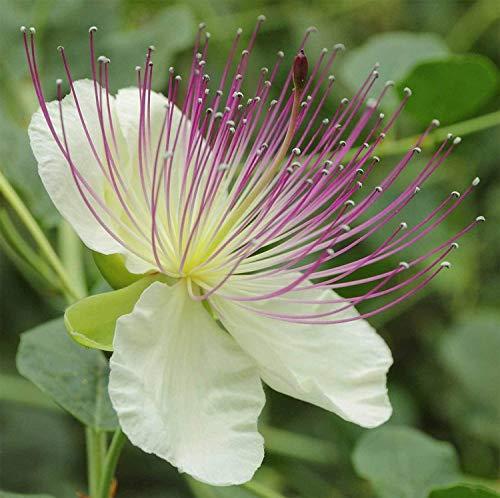 PlenTree Capparis Spinosa | Sin espinas alcaparra Bush | Flinders Rose | 20_Seeds
