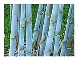 Bambou bleu - Bambusa textilis - bambou des tisserands -10 graines