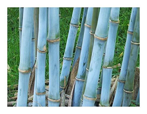 Bambou bleu - Bambusa textilis - bambou des tisserands - 100 graines