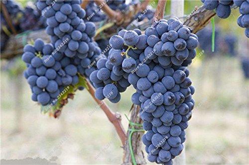 Bonsai Finger de pépins de raisin délicieux pot bio plante Maison et Jardin des plantes ornementales comestibles Can sain fruits semences 60 Pcs 11