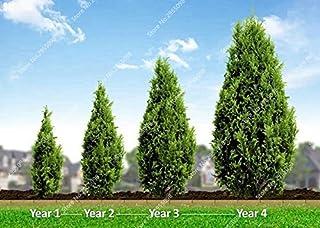 Géant Redwood Bonsai Evergreen Arbustes Arbres Plantes MAISON JARDIN NEUF 50 Pcs Graines x