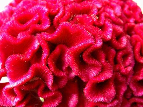 Semillas de flor cerebro - eléctrica rosada - planta arbustiva tropical -...