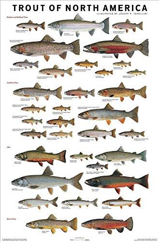 Picture Peddler Laminated Trout of North America by Joseph R. Tomelleri Fishing Rainbow Brook Cutthroat Steelhead Lake 24x36