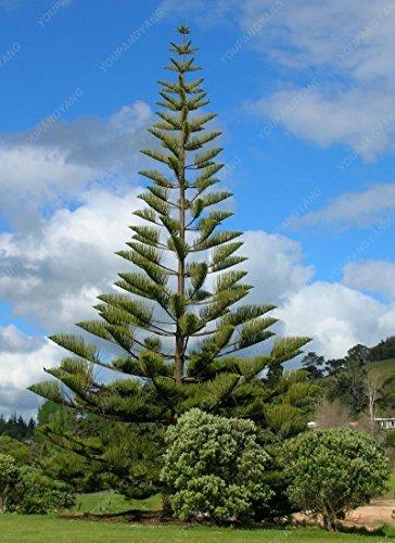50pcs/sac japonais rares arbres de pin jaune Graines Bonsai Thunbergii Pinus Graines Jardin d'hiver de Noël Kawaii Plantes Livraison gratuite claires