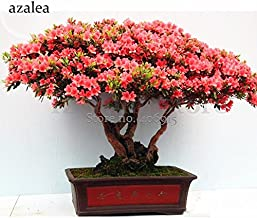 TopOne Sales Rose Pink Bonsai Azaleas Rhododendron, 50 Seeds, beautiful and attracting butterflies light up your garden